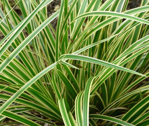 Produktbild Carex morrowii 'Aureovariegata' - Goldrand-Japan-Segge