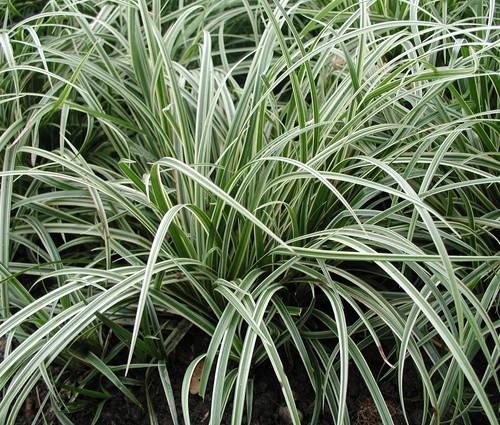 Produktbild Carex morrowii var. foliosissima 'Silver Sceptre' - Teppich-Japan-Segge