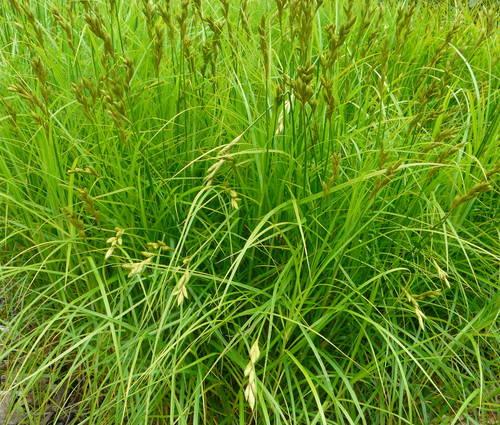 Produktbild Carex muskingumensis - Palmwedel-Segge