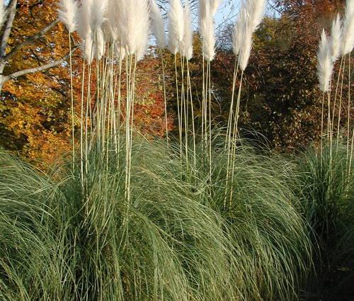 Produktbild Cortaderia selloana 'Sunningdale Silver' - Pampasgras