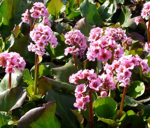 Produktbild Bergenia Hybride 'Herbstblüte' - Bergenie