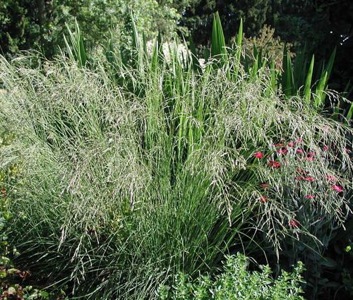 Produktbild Eragrostis curvula - Afrikanisches Liebesgras