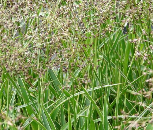 Produktbild Luzula sylvatica 'Marginata' - Gelbrand-Wald-Marbel