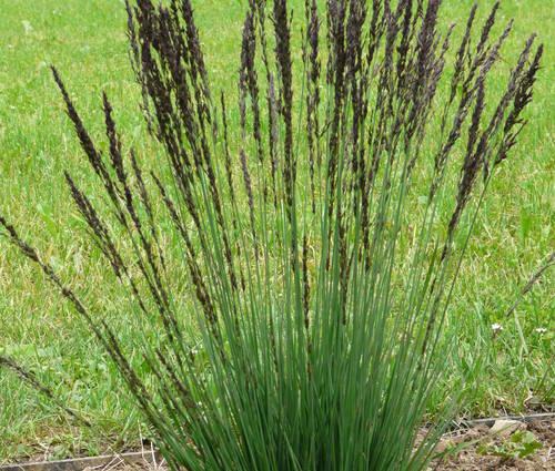 Produktbild Molinia caerulea 'Moorhexe' - Moor-Pfeifengras