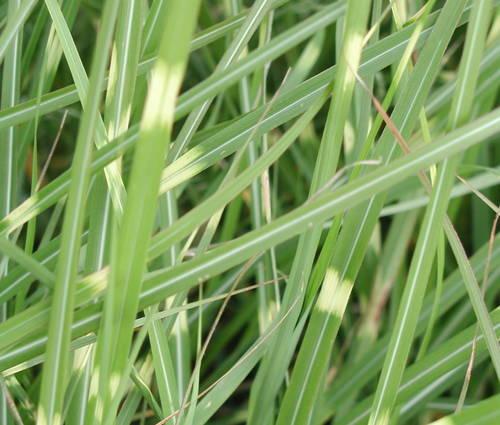 Produktbild Miscanthus sinensis 'Pünktchen' - Chinaschilf