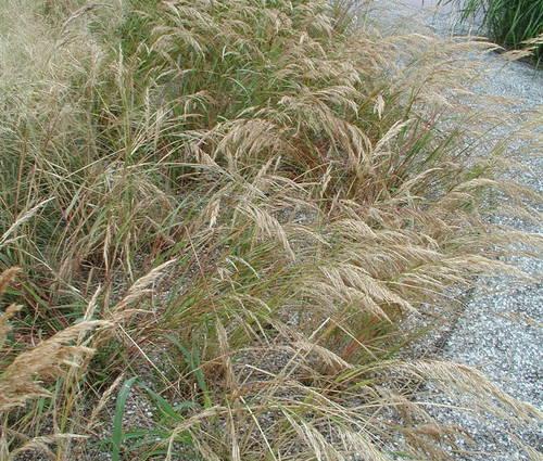 Produktbild Stipa calamagrostis  - Silberährengras, Silber-Raugras