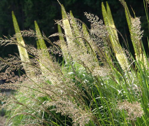 Produktbild Calamagrostis varia - Berg-Reitgras