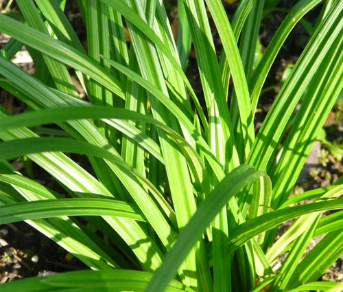 Produktbild Carex morrowii ssp. foliosissima 'Irish Green' - Teppich-Japan-Segge