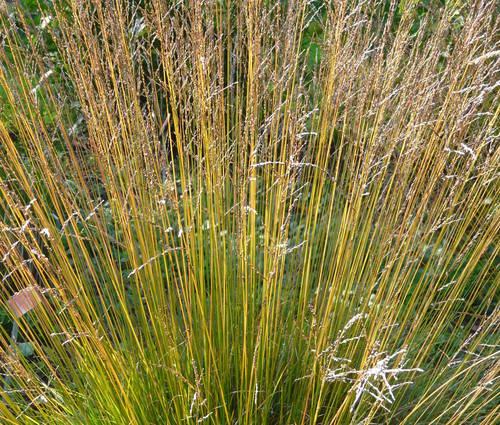 Produktbild Molinia caerulea 'Dauerstrahl' - Niedriges Moor-Pfeifengras