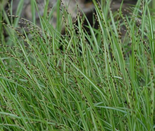 Produktbild Melica uniflora 'Variegata' - Einblütiges Perlgras