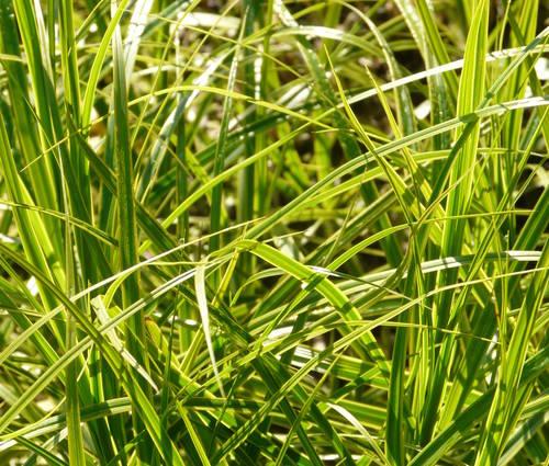 Produktbild Carex muskingumensis 'Oehme' - Gelbbunte Palmwedel-Segge