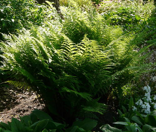 Produktbild Athyrium filix-femina - Wald-Frauenfarn