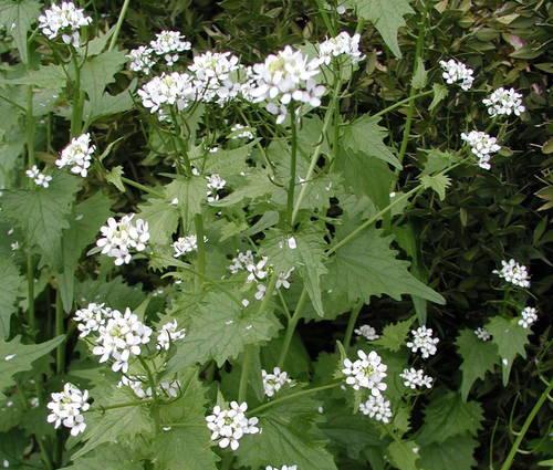 Produktbild Alliaria petiolata - Knoblauchsrauke