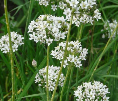 Produktbild Allium tuberosum 'Monstrosum' - Riesen-Schnitt-Knoblauch