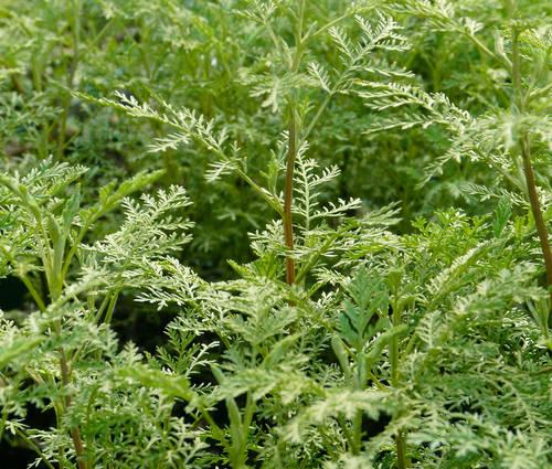 Produktbild Artemisia abrotanum 'Courson' - Französische Eberraute