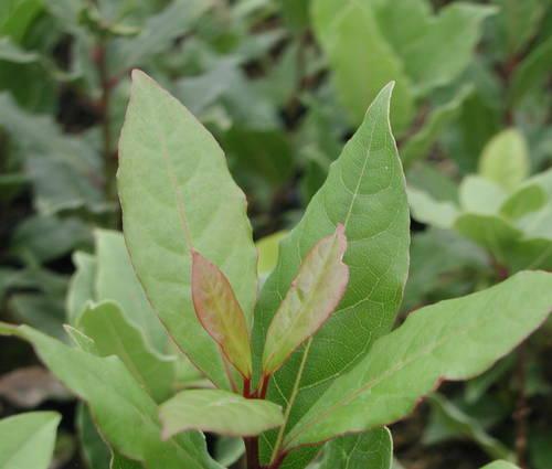 Produktbild Laurus nobilis - Gewürz-Lorbeer