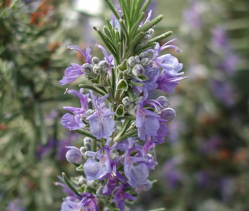 Produktbild Rosmarinus officinalis 'Blaulippe' - Rosmarin
