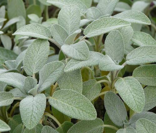 Produktbild Salvia officinalis 'Berggarten' - Breitblättriger Gewürz-Salbei