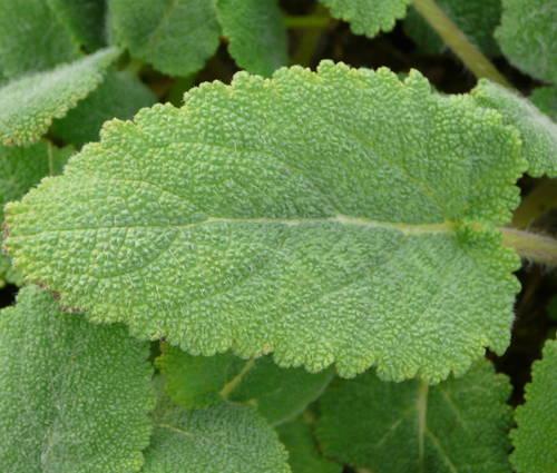 Produktbild Salvia sclarea - Muskateller-Salbei