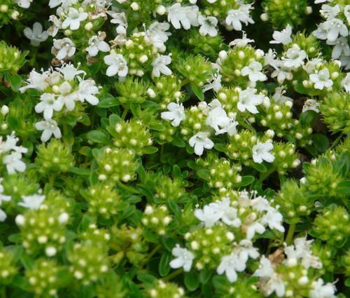 Produktbild Thymus serpyllum 'Albus' - Weißer Sand-Thymian