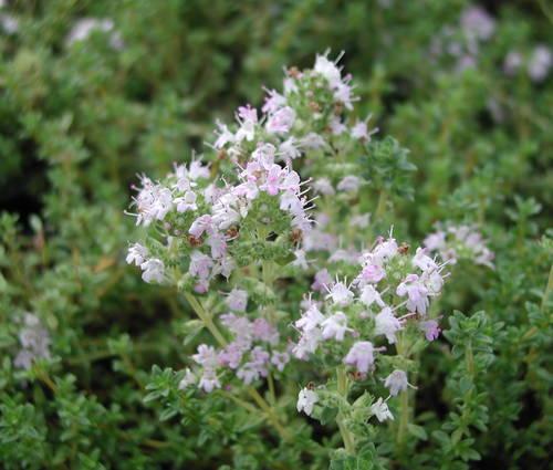 Produktbild Thymus thracicus 'Pine Wood' - Pinienduft-Thymian