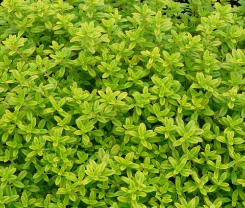 Produktbild Thymus x citriodorus 'Aureus' - Gold-Thymian