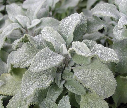 Produktbild Salvia officinalis 'Crispa' - Krauser Gewürz-Salbei