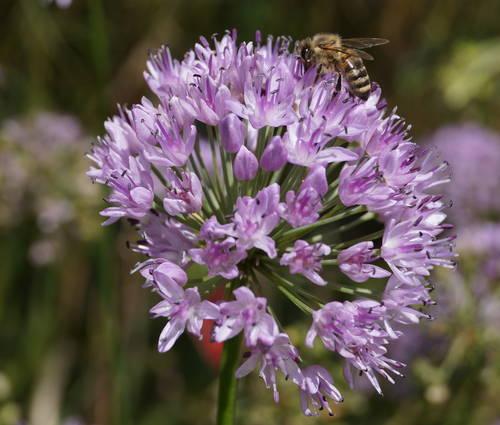 Produktbild Allium spec. 'Iden Croft' - Englischer Lauch