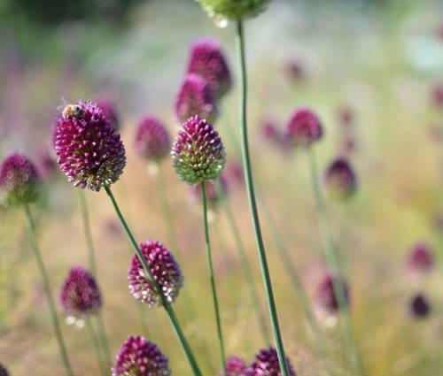 Produktbild Allium sphaerocephalon - Kugel-Lauch