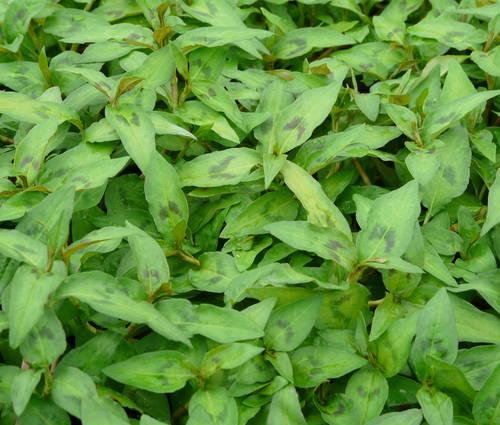 Produktbild Polygonum odoratum - Vietnamesischer Koriander