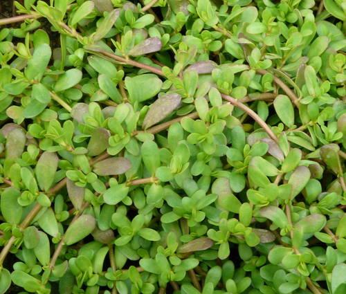 Produktbild Bacopa monnieri - Brahmi, Kleines Fettblatt