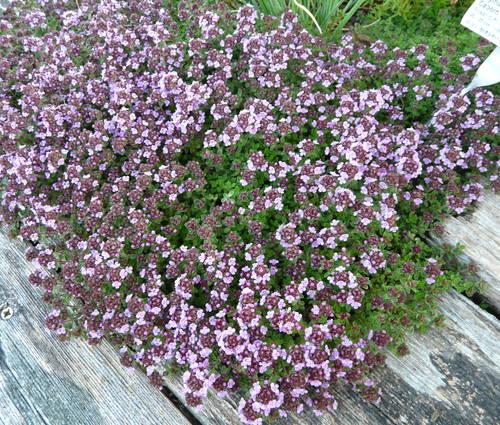 Produktbild Thymus species 'Caborn Wine and Roses' - Rosenduft-Thymian