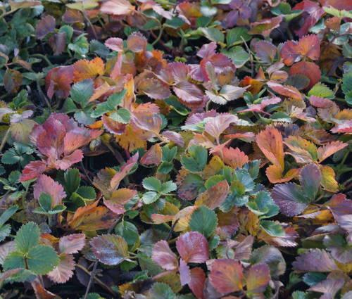 Produktbild Fragaria x vescana 'Florika' ® - Garten-Erdbeere, Erdbeerwiese