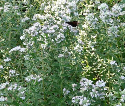 Produktbild Pycnanthemum pilosum - Amerikanische Bergminze