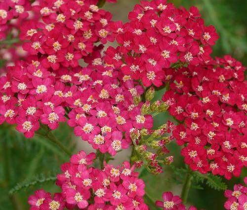 Produktbild Achillea Millefolium-Hybride 'Petra' - Schafgarbe