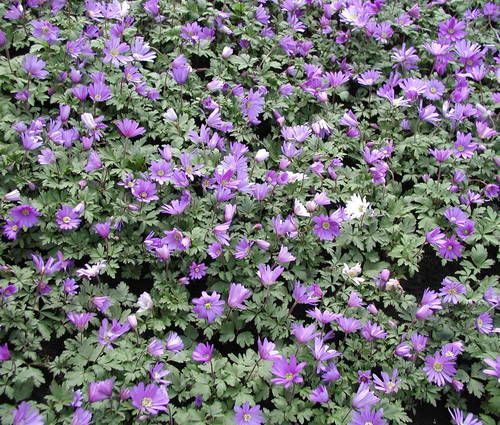 Produktbild Anemone blanda 'Blue Shades' - Blaue Frühlings-Anemone