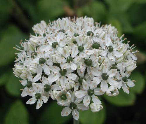 Produktbild Allium nigrum - Zier-Lauch