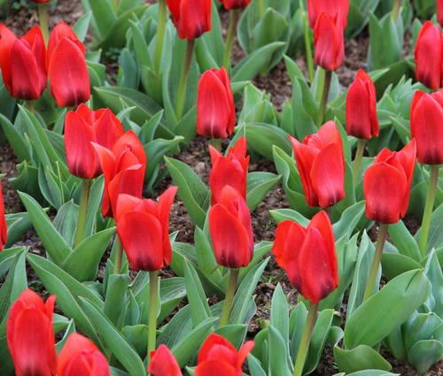 Produktbild Tulipa kaufmanniana 'Showwinner' - Seerosen-Tulpe