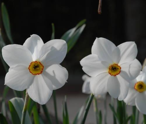 Produktbild Narcissus poeticus 'Actaea' - Dichter-Narzisse