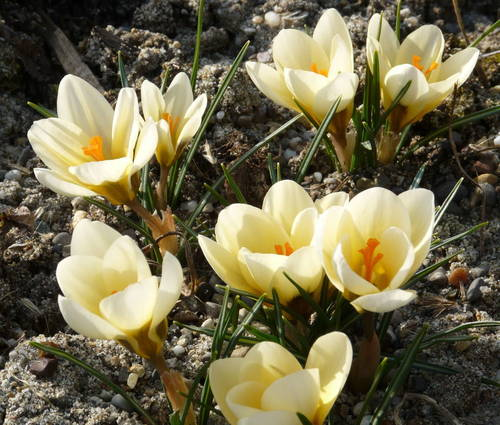 Produktbild Crocus chrysanthus 'Cream Beauty' - Balkan-Krokus
