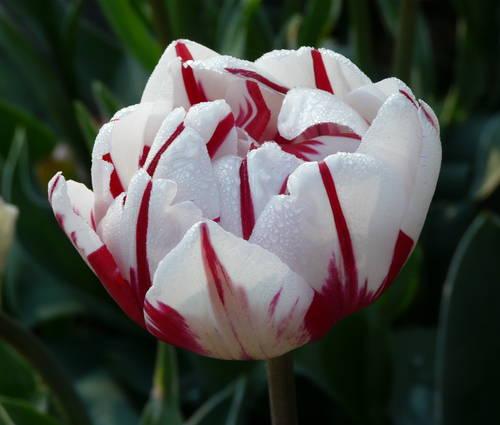 Produktbild Tulipa 'Carnaval de Nice' - Gefüllte späte Tulpe