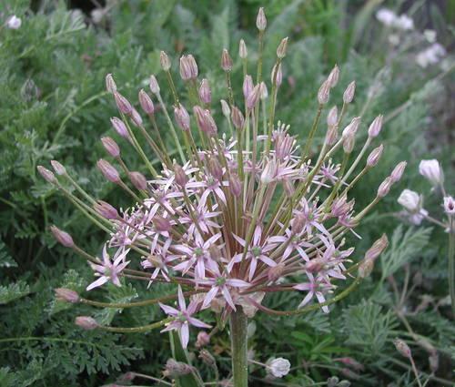Produktbild Allium schubertii - Schuberts Lauch, Igelkolben-Lauch