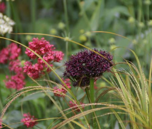 Produktbild Allium atropurpureum - Granat-Kugellauch