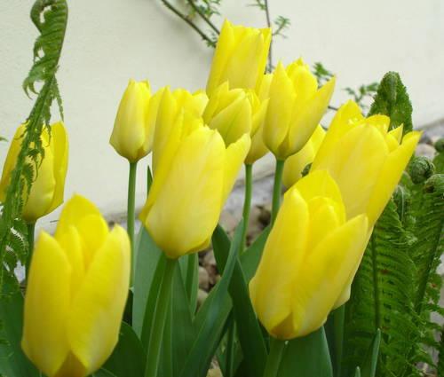 Produktbild Tulipa fosteriana 'Yellow Purissima' - Fosteriana-Tulpe