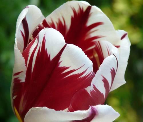 Produktbild Tulipa 'Grand Perfection' - Einfache frühe Tulpe