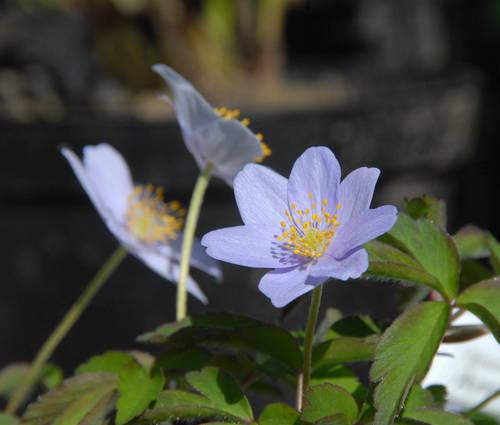 Produktbild Anemone nemorosa 'Robinsoniana' - Blaues Busch-Windröschen