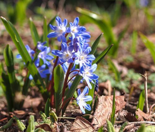 Produktbild Chionodoxa forbesii 'Blue Giant' - Schneeglanz