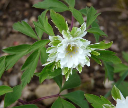 Produktbild Anemone nemorosa 'Bracteata Pleniflora' - Gefülltes Busch-Windröschen