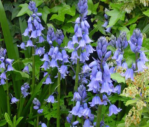 Produktbild Hyacinthoides hispanica, blau - Spanisches Hasenglöckchen