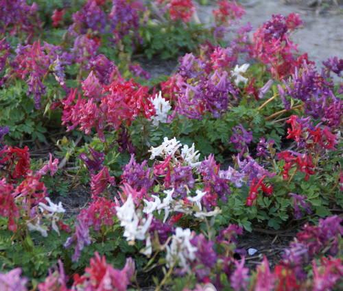 Produktbild Corydalis solida ssp. solida 'Mix' - Gefingerter Lerchensporn